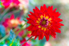 Colorful dahlia flower red royalty free stock image