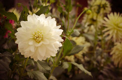Colorful dahlia flower white in autumn garden Royalty Free Stock Photography