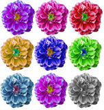 Colorful Dahlia flower in white background Stock Photos