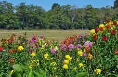 Colorful dahlia garden Royalty Free Stock Photos