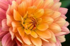 Colorful dahlia macro Stock Image