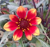 Colorful red and orange Dahlia Mignon flower. A colorful Dahlia Mignon flower with red and orange petals royalty free stock photos