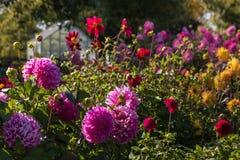 Colorful dahlias in garden Royalty Free Stock Photo