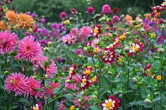 Colorful dahlias garden royalty free stock photo