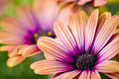 Colorful Daisies Royalty Free Stock Photo