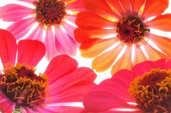 Colorful Daisies Royalty Free Stock Photography