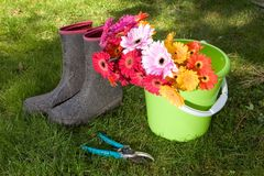 Colorful daisies in bucket on lawn - yardwork Stock Image