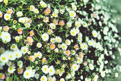 Colorful daisies flowers. With green leaves Stock Images