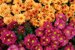 Colorful daisies and gerbera. Vibrant and colorful background of flowers Royalty Free Stock Photography