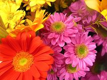 Colorful daisies and gerbera. Vibrant and colorful background of flowers (daisies and gerbera Stock Photography