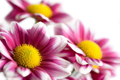 Colorful daisies isolated. On white Royalty Free Stock Images