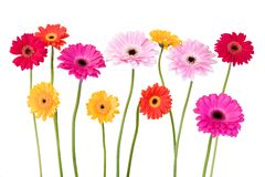 Colorful daisies isolated on white Stock Photos