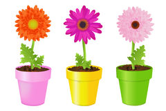 Colorful Daisies In Pots. Vector Royalty Free Stock Photography