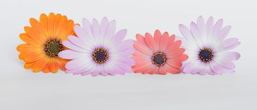 Colorful daisies Stock Image