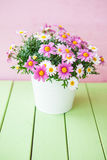 Colorful daisies in white pot Royalty Free Stock Photos