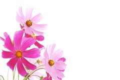 Colorful Daisy Royalty Free Stock Images