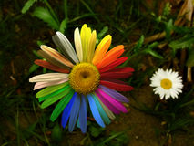 Colorful daisy Royalty Free Stock Photography