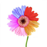 Colorful daisy Stock Images