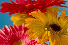 Colorful Daisy. Bouquet of colorful Barberton Daisy Stock Image
