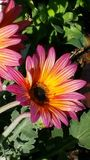 Colorful  Daisy. Amazing colors on this daisy, I had to take a picture of it Stock Photo