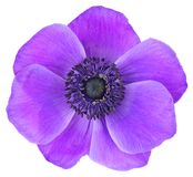 Colorful Daisy Anemone, Wildröschen isolated on white background, including clipping path. Violet Daisy Anemone, Wildröschen isolated on white background stock photography