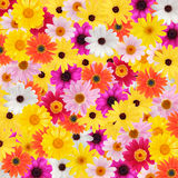 Colorful daisy background. Background made of various daisy flowers stock photo