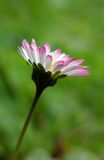 Colorful daisy flower in bloom Royalty Free Stock Photos