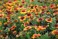 Colorful daisy flowers. In the garden stock photos