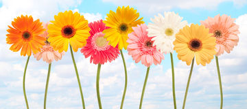Colorful daisy flowers Royalty Free Stock Photo