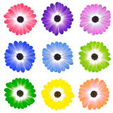 Colorful Daisy Flowers Isolated on White Stock Images
