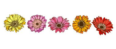 Colorful daisy flowers isolated on white background. Floral vector.  Stock Images