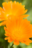 Colorful daisy in full bloom Royalty Free Stock Photography