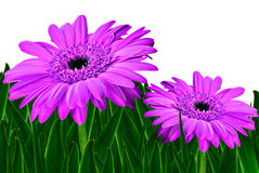 Colorful daisy gerbera flowers Stock Photos