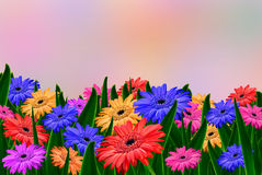 Colorful daisy gerbera flowers Royalty Free Stock Image