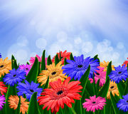 Colorful daisy gerbera flowers Stock Image