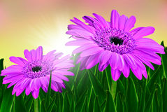 Colorful daisy gerbera flowers in a field Stock Photography