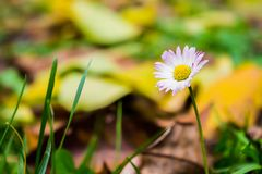 Colorful daisy in grass stock photography
