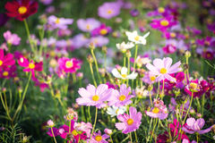 Colorful Daisy under sunlight Stock Photography