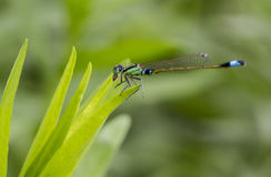 Colorful Damsel Fly Royalty Free Stock Image
