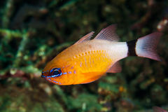 Colorful damselfish. On a coral reef on the Island of Bali, Indonesia Stock Images