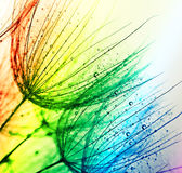 Colorful dandelion Stock Images