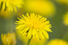 A colorful dandelion flowers on green grass close up. Bright yellow dandelion flowers on green grass close up Royalty Free Stock Photos