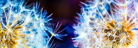 Colorful dandelion macro with lots of dew on a dark background. Panoramic.  Royalty Free Stock Photography