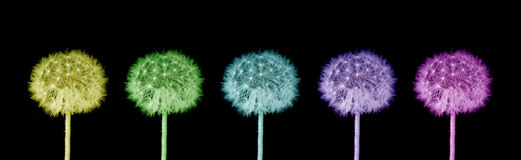 Colorful dandelions Stock Images