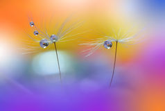 Colorful Dandelions... Stock Photography