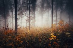 Colorful dark autumn woods with mist. Misty colorful dark autumn woods. Mysterious fantasy forest with fog in autumn. Autumn forest background. Cold day with royalty free stock photography