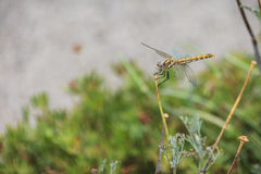 Colorful darter dragonfly Stock Photo