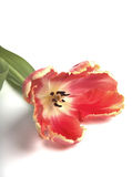 Colorful dead tulip. Clorful dead tulip on white Stock Photography