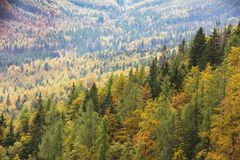 Colorful deciduous and coniferous trees in the magic forest. Colorful and healthy deciduous and coniferous trees in the early autumn morning. Autumn forest royalty free stock photos