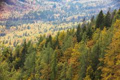 Colorful deciduous and coniferous trees in the magic forest. Colorful and healthy deciduous and coniferous trees in the early autumn morning. Autumn forest royalty free stock images